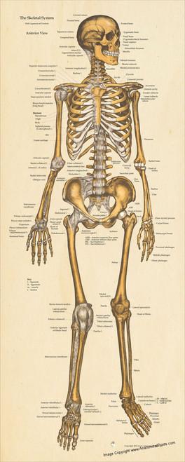 skeletal system anterior view