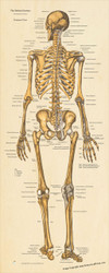 Skeletal System Posterior View- Poster