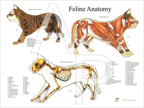 Cat Anatomy Posters 2 Chart Set 18 X 24 Clinical Charts And Supplies