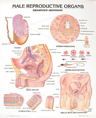 Male Reproductive System Poster