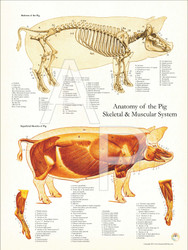 Pig Skeleton and Musculature Chart