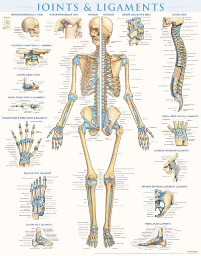 Joints And Ligaments Wall Poster Clinical Charts And
