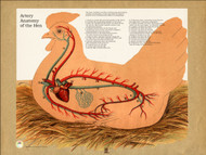 Chicken Artery Anatomical Poster