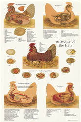 Chicken Anatomy Poster 24 x 36