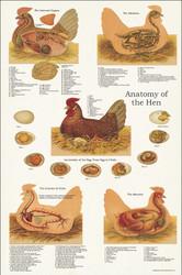Chicken Anatomy Poster 24 x 36