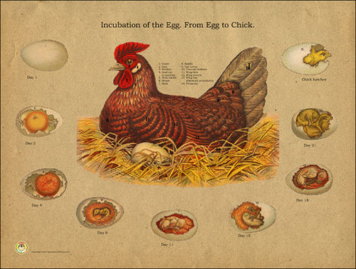 ANYONE HAVE EGGS DUE!! CHARTS ON PAGE ONE POST ONE ... |Chicken Hatching Chart