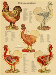 Chicken Anatomical Poster 24 x 36