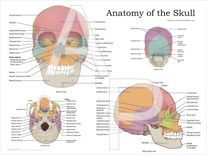 Human Skull Anatomy Poster Clinical Charts And Supplies