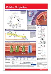 Cellular Respiration Poster