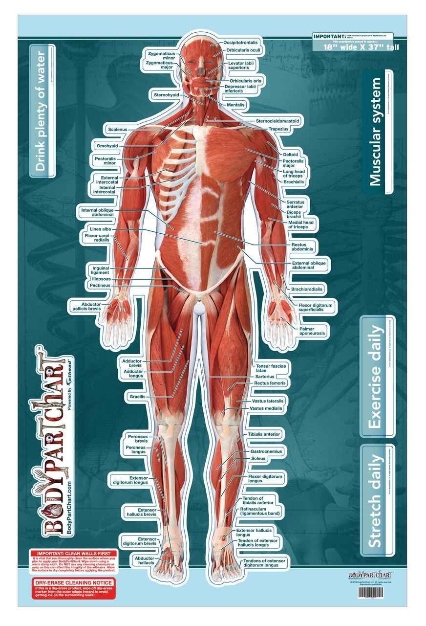 Muscular System Sticky Wall Chart Anterior Clinical Charts And