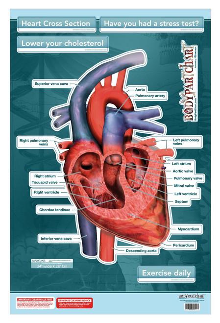 Heart Cross Section Poster