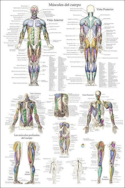 Musculo Anatomia Poster- 24 x 36 - Clinical Charts and Supplies