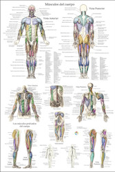 Musculo Anatomia Poster