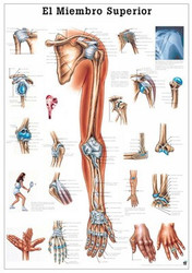 Upper Extremity Poster in Spanish