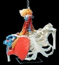 Flexible Torso Anatomical Model