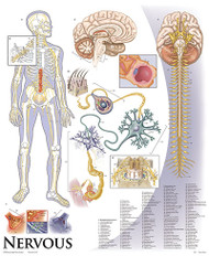 Brain and Nervous System Poster