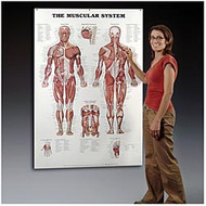 Muscular System Giant Anatomical Chart