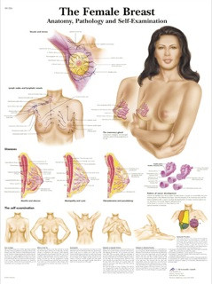 Female Breast chart - Anatomy, Pathology and Self-Examination