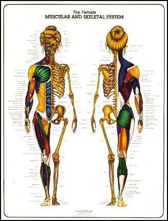 Female Muscular Skeletal System Anatomy Poster Clinical Charts