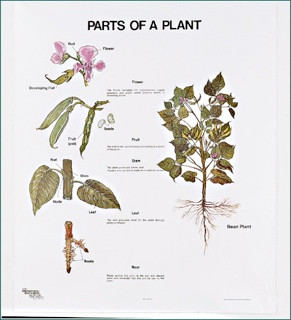 Parts Of A Plant Chart Clinical Charts And Supplies