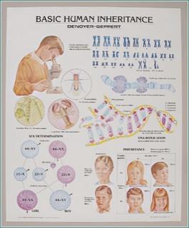 Basic Human Inheritance Anatomical Poster