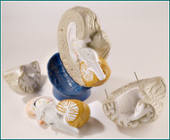 Brain Anatomical Model Giant 4-Part