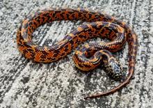 Florida King Snake for sale