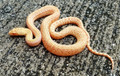 Albino Striped Gopher Snake for sale