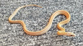 Gold Dust Striped Corn Snakes for sale
