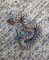Axanthic Western Hognose Snakes (Heterodon nasicus)