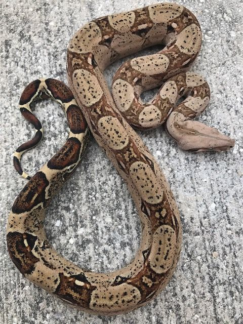 Pastel Colombian Red Tail Boa Constrictor for sale (Boa constrictor  imperator)