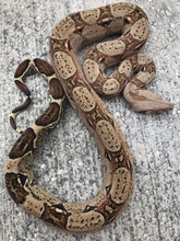 Pastel Colombian Red Tail Boa for sale