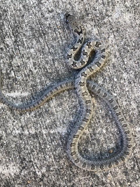 Bairds Rat Snake for Sale (Elaphe bairdi)
