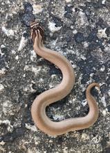 Super Anaconda Phase Hognose for sale