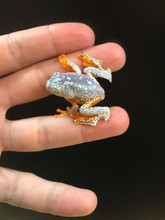 Amazon Fringed Leaf Frog for sale