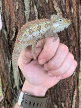 Helmeted Chameleons for sale