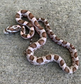 Coral Ghost Corn Snake for sale