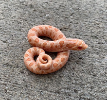 Albino Anaconda Hognose for sale