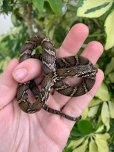 Russian Rat Snake for sale