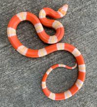 Albino Tri Color Honduran Milk Snake for sale