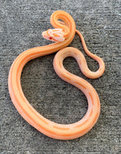 Creamsicle Striped Corn Snake for sale | Snakes at Sunset