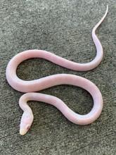 Blizzard Corn Snake for sale   Snakes at Sunset
