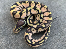 Pastel Calico Ball Python for sale | Snakes at Sunset
