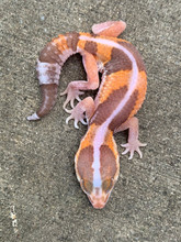 Albino Striped Fat Tail Gecko for sale | Snakes at Sunset