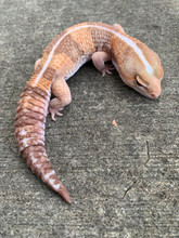 Albino Striped Fat Tail Gecko Adult