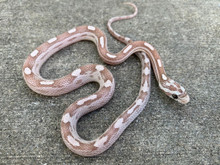 Ghost Motley Corn Snake for sale | Snakes at Sunset