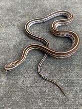 Caramel Tessera Corn Snake for sale | Snakes at Sunset