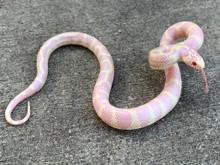 Albino Abberant  California King Snake for sale  | Snakes at Sunset