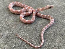 Ultramel Cinder Corn Snake for sale | Snakes at Sunset