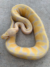 Candy Ball Python for sale